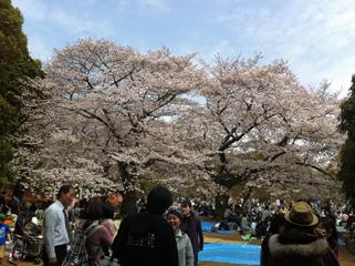 sakura2011.jpg